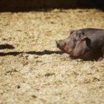 Ejemplo de bienestar animal, cerdos en Jisap